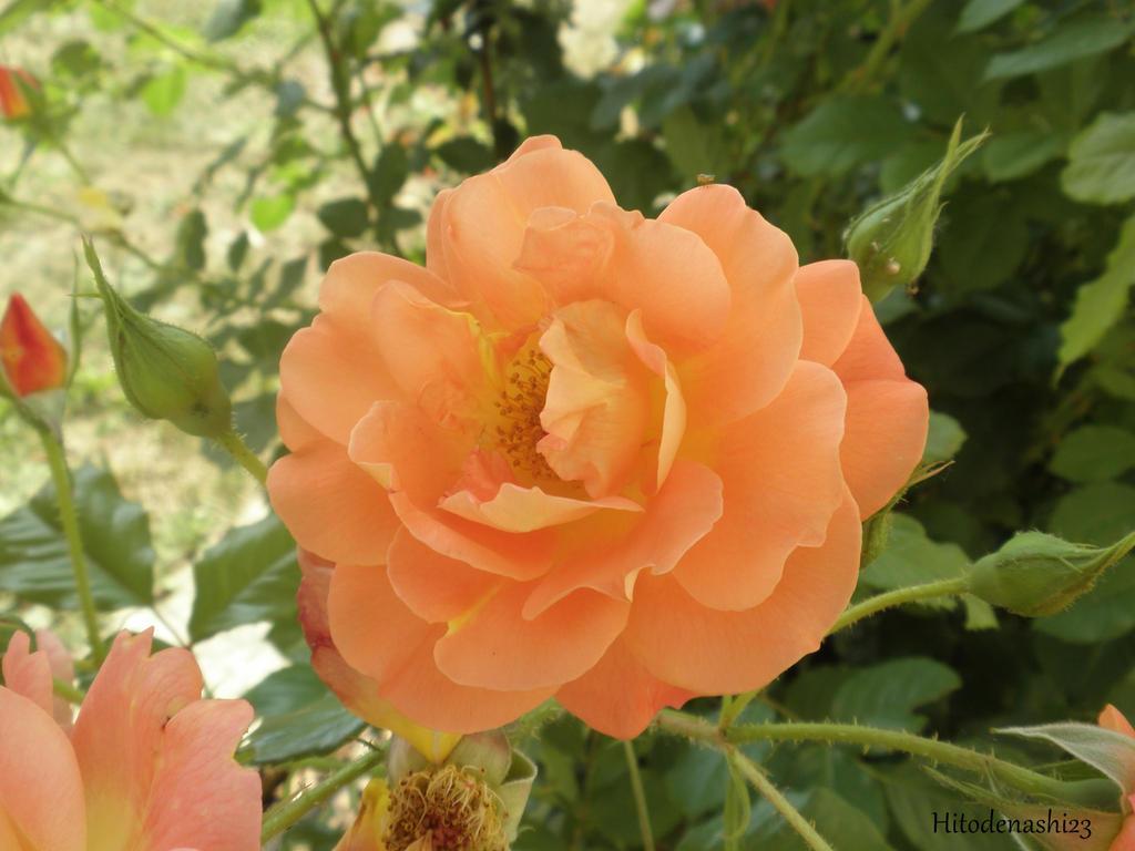 Orange rose by Hitodenashi23