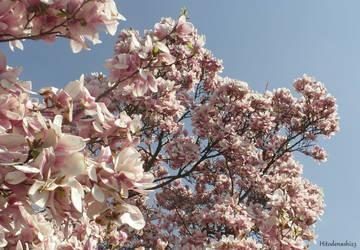 Magnolia by Hitodenashi23
