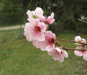 Apricot blossom by Hitodenashi23