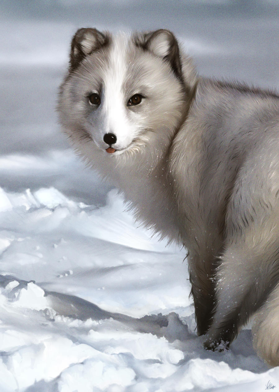 Arctic Fox Study By Aarongriffinart On Deviantart