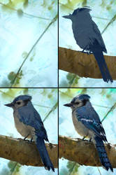 Blue Jay Study Process