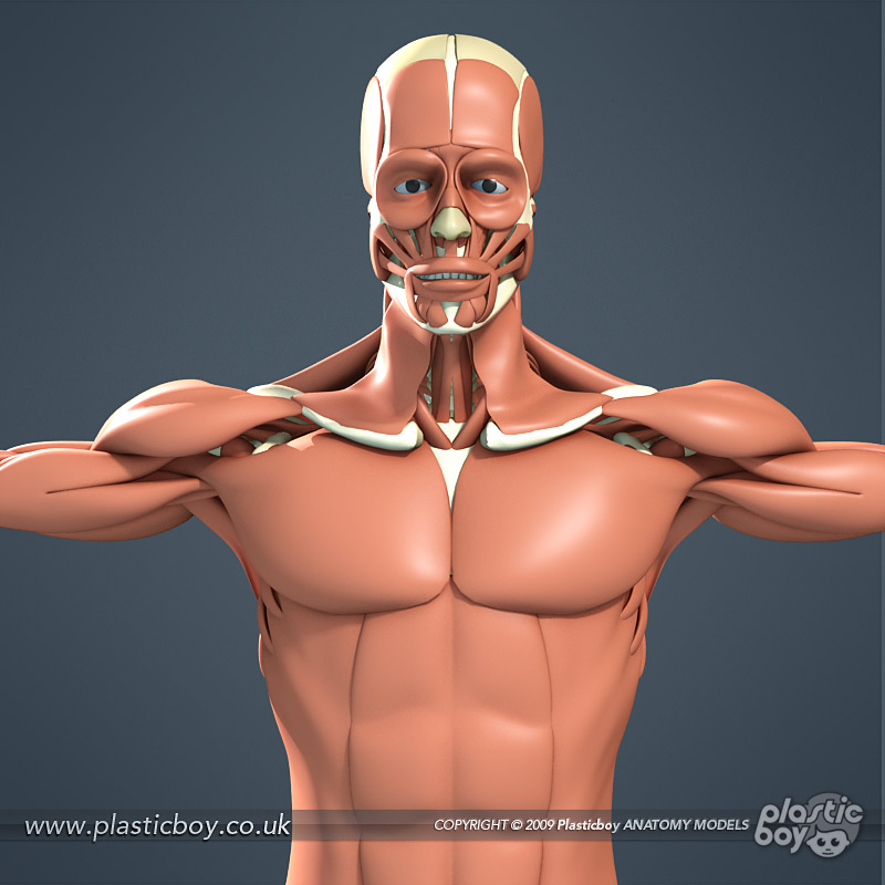 human muscular system 3d model by therealplasticboy on deviantart, Muscles