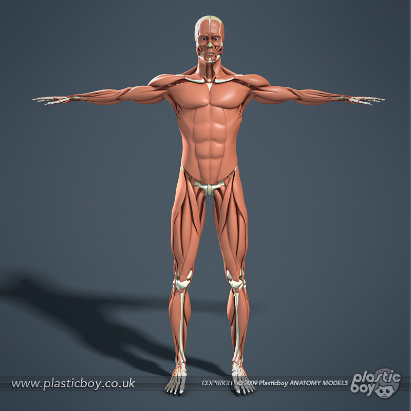 muscular system 3d model 02 by therealplasticboy on deviantart, Muscles