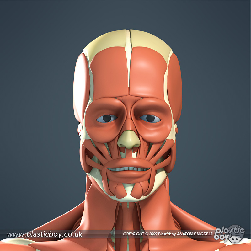 Muscular System 3D Model 04 by TheRealPlasticboy on DeviantArt