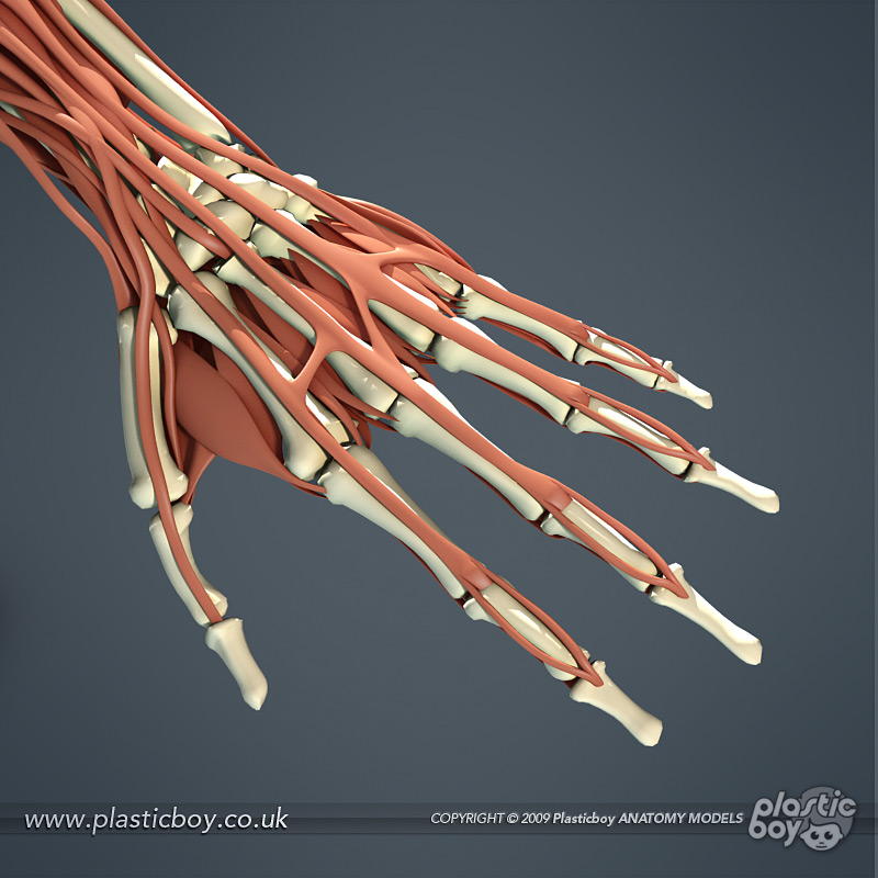 Muscular System 3D Model 05 by TheRealPlasticboy on DeviantArt