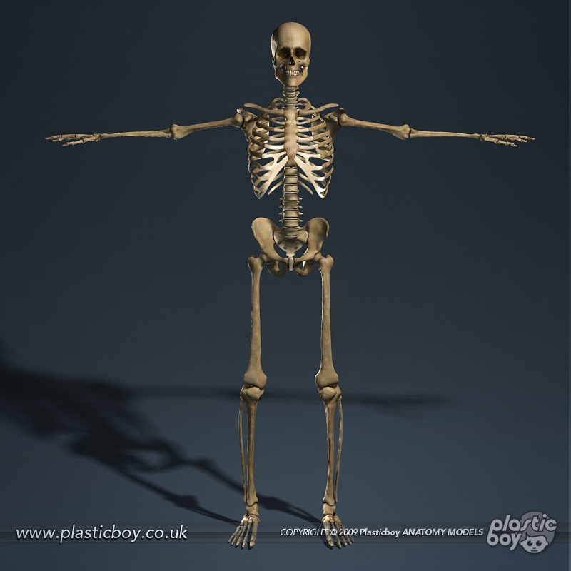 Skeletal System Without Labels