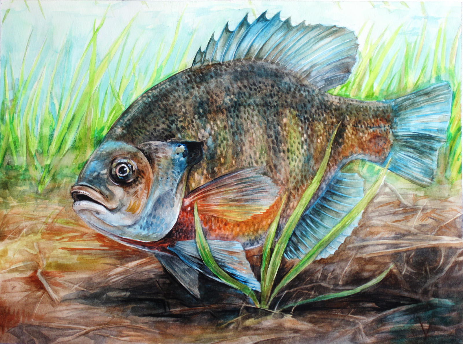 Bluegill by Cooooookies