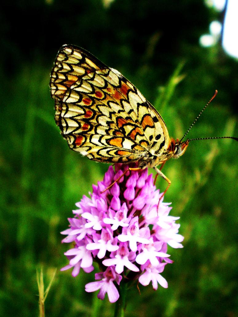 wonderful butterfly by fansy-girl ...
