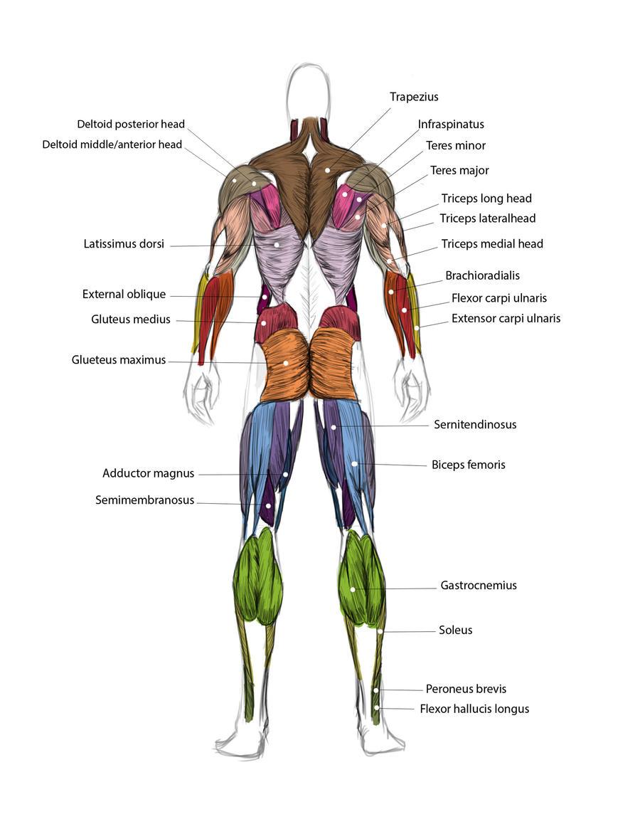 Muscle Map Of Body Kefei04