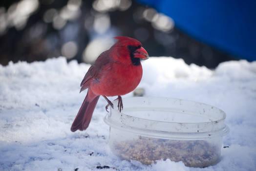 Cardinal Eating