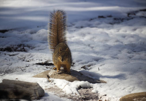 Squirrel In The Snow 2