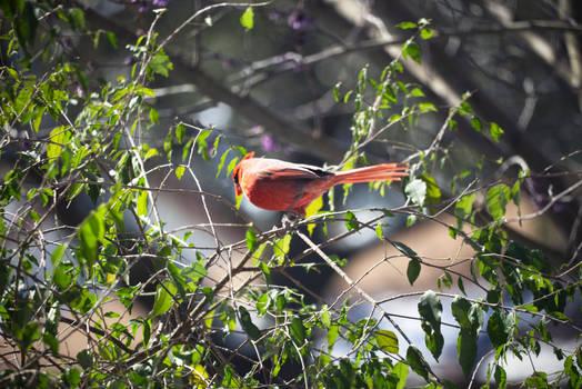Cardinal In A Tree 2