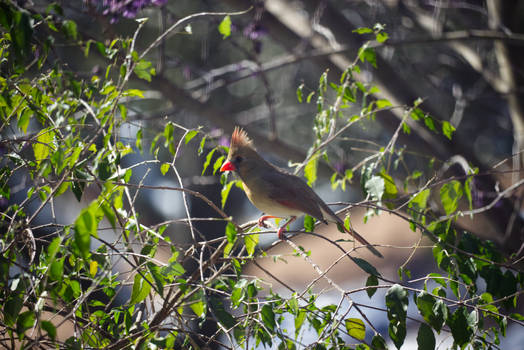 Cardinal In A Tree 4