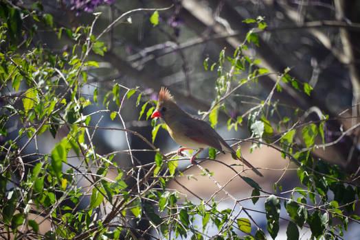 Cardinal In A Tree 4
