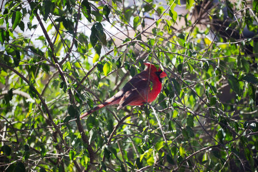 Cardinal In A Tree 3