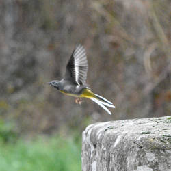 Flying Wagtail by Asclepios91