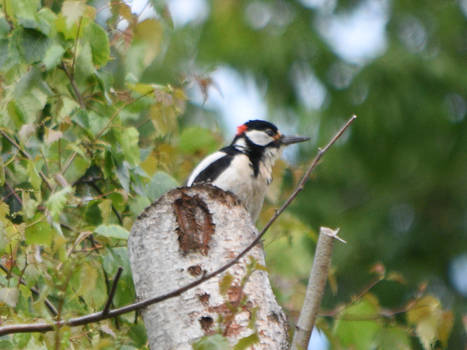Great Spotted Woddpecker 2