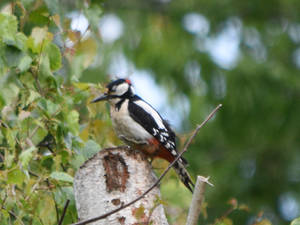 Great Spotted Woddpecker 3