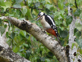 Great Spotted Woddpecker 4