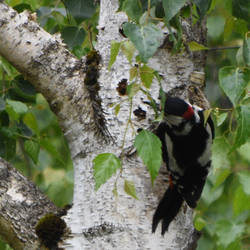 Great Spotted Woddpecker 5