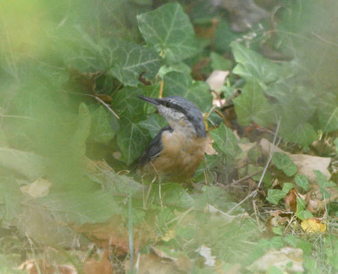 Nuthatch in the blur