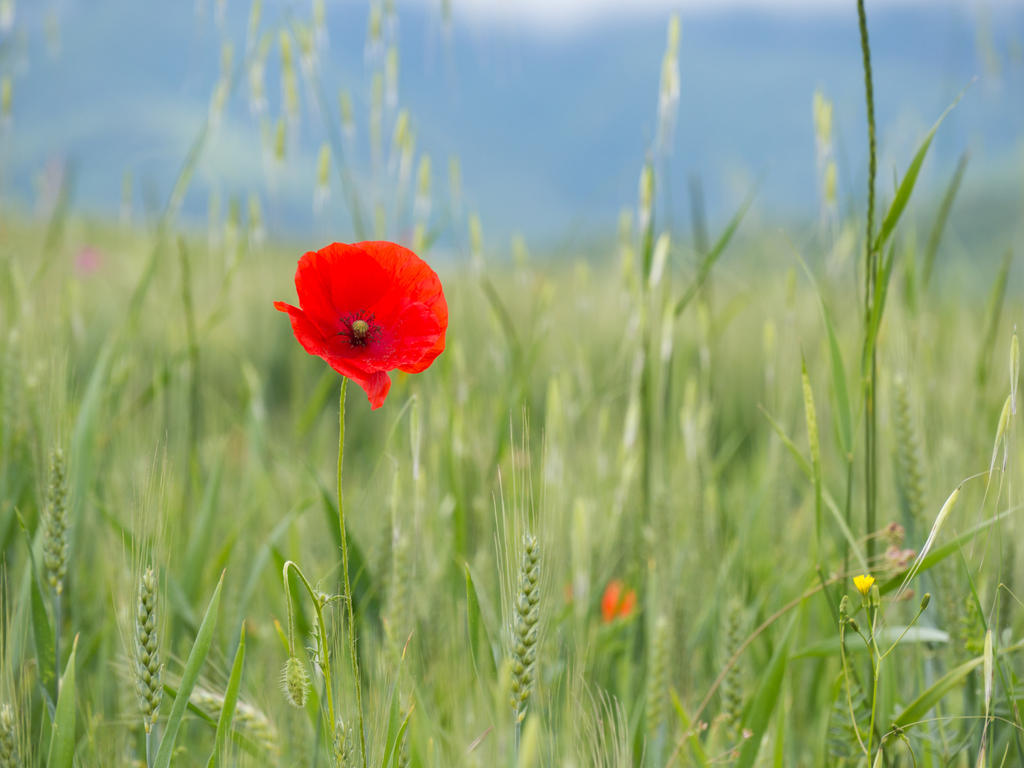 Poppy by amipal