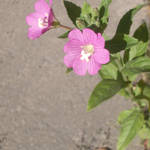 Pink flower at the street