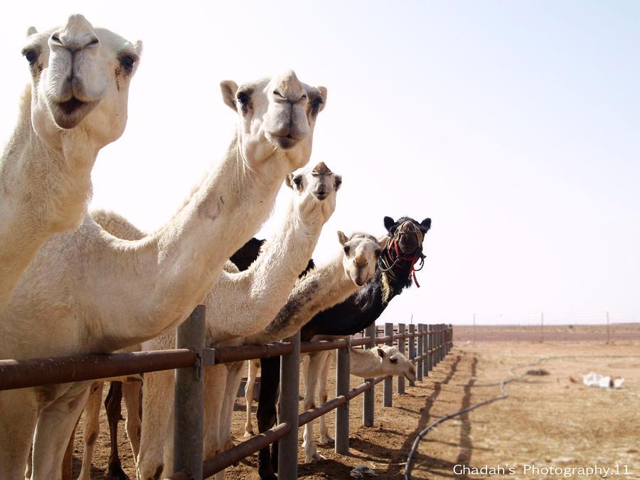 Camels by LovelyGead