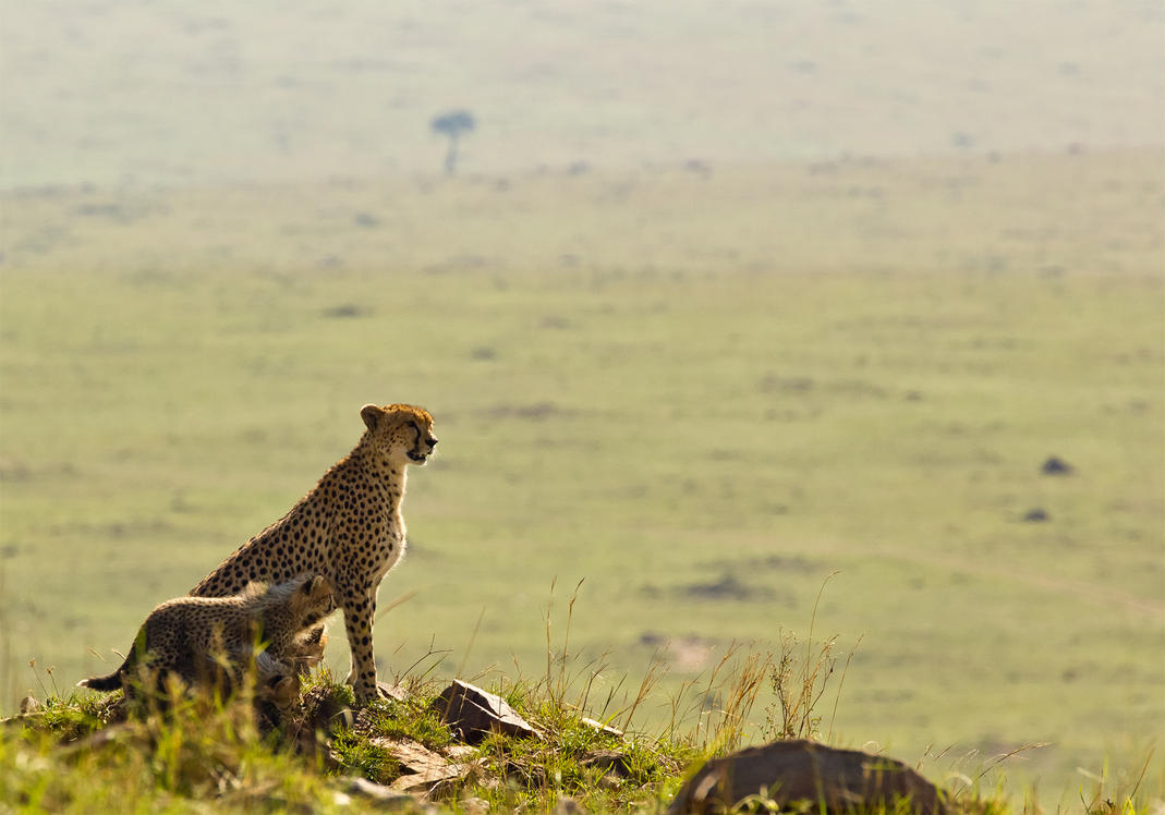 Cheetah and Cubs by greenjinjo