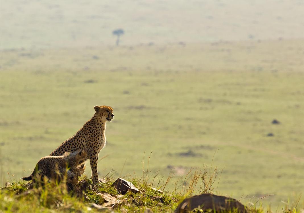 Cheetah and Cubs by greenjinjo