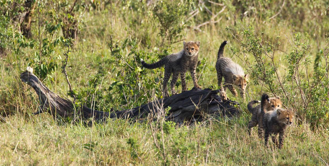 Cheetah Cubs by greenjinjo