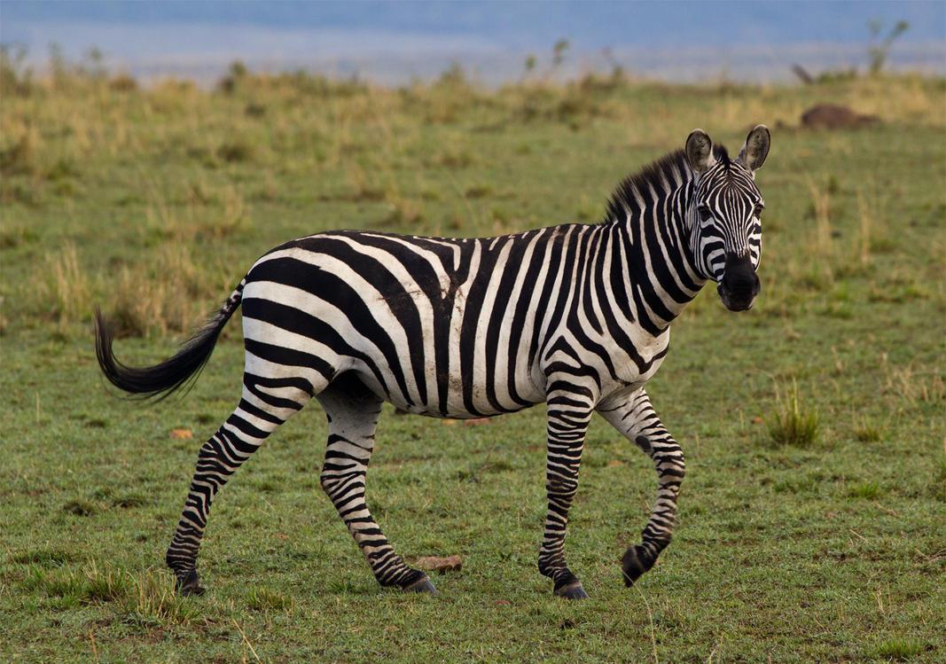 A Zebra by greenjinjo