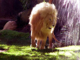 Lion in the Rain by shutterbabe2006