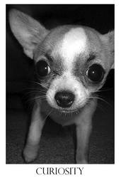 Curious Chihuahua by shutterbabe2006