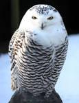 Snowy Owl by Kittyoholic