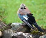 Jaybird by Kittyoholic
