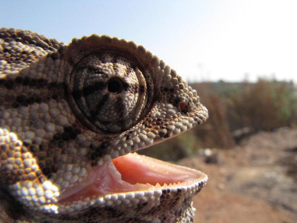 camaleón,