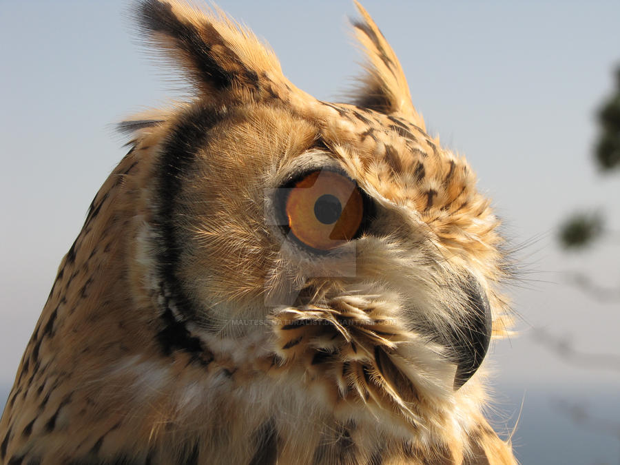 Eagle Owl I by Maltese-Naturalist