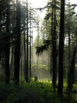 Misty Forest stock