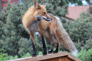 Watch Fox by Vila-Star
