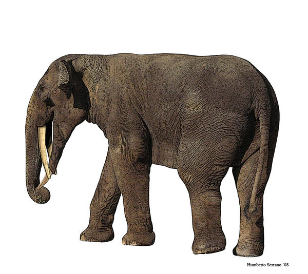 Gomphotherium angustidens 2