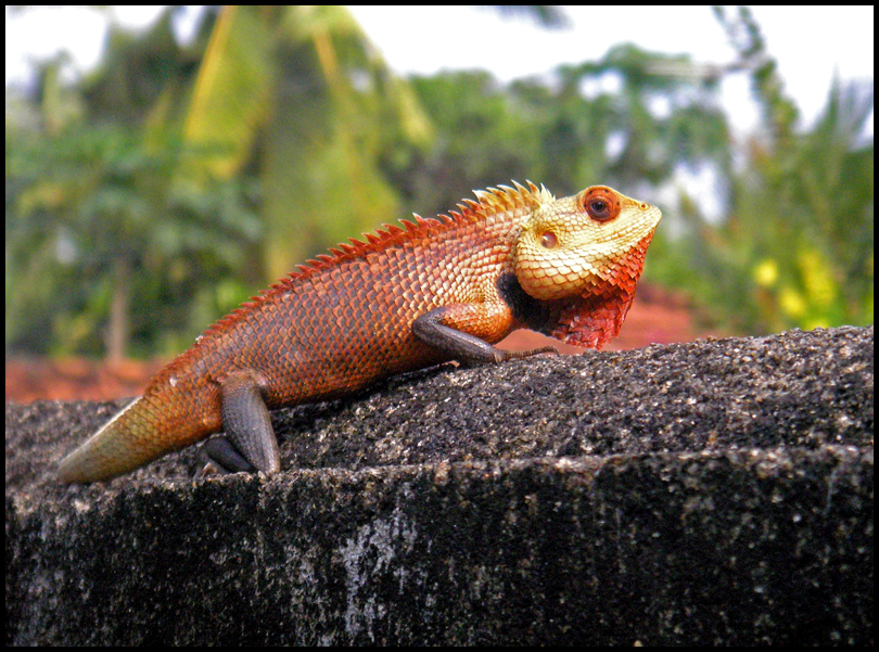 Colour Changing Lizard Red by ChocoboRyo on DeviantArt