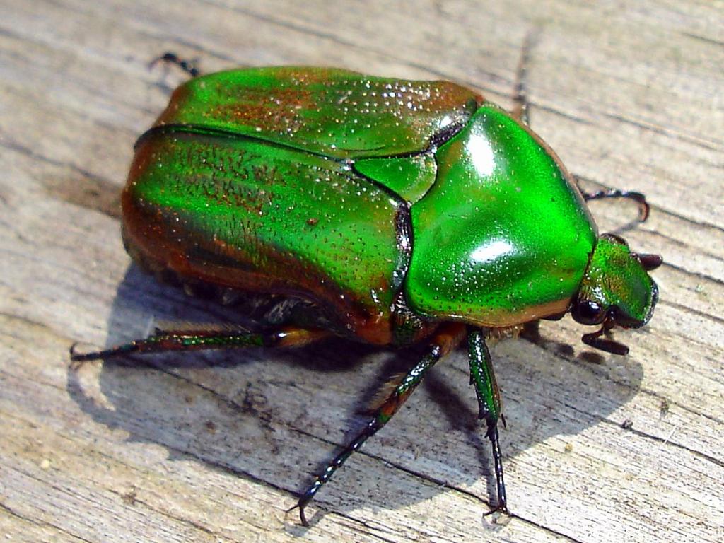 Green June Beetle | Amazing Wallpapers - photo#14