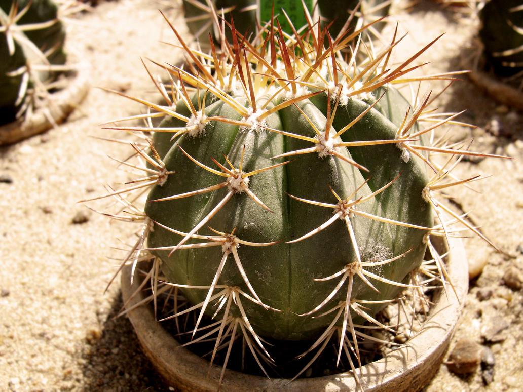 Tiny cactus by Caspieen