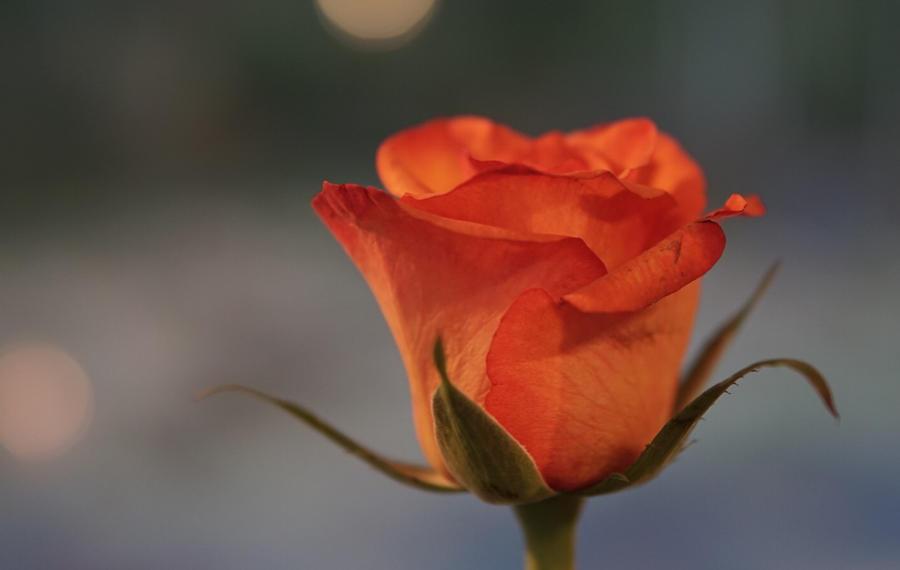 Vive la rose by sHavYpus
