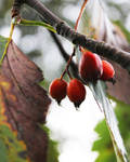 Berries to eat?