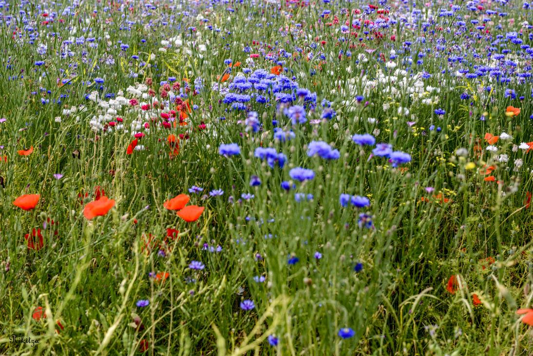 Field flowers in Vessy by Rikitza