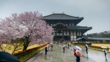 rainy sakura at Nara by Rikitza