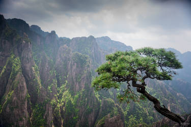 surprising China - the pine at the Yellow mountain
