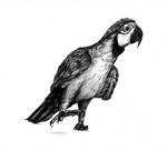 The Black Parrot by birdmir